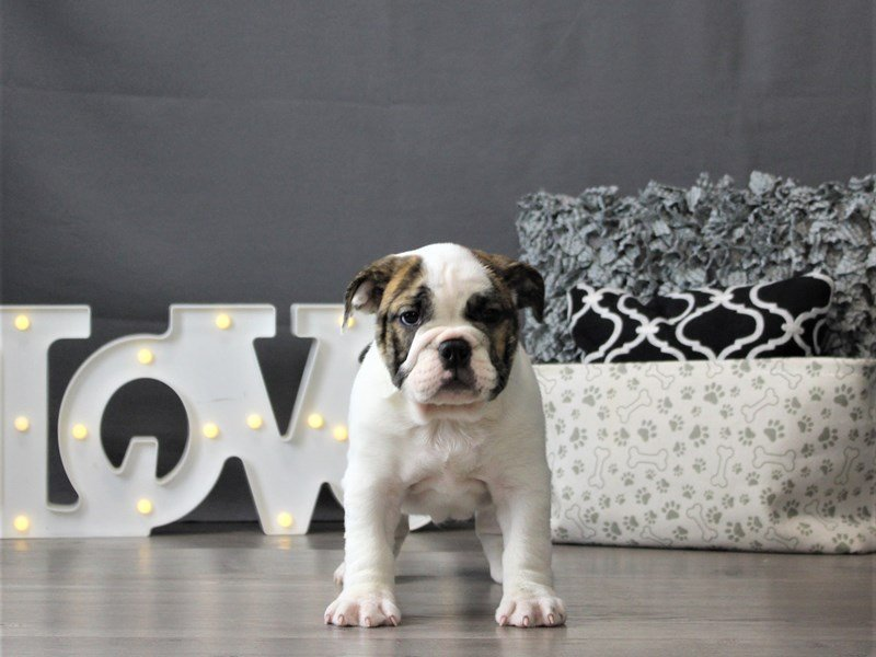 Bulldog/Bulldog-Beagle-Female-White-3131477-Petland Carriage Place