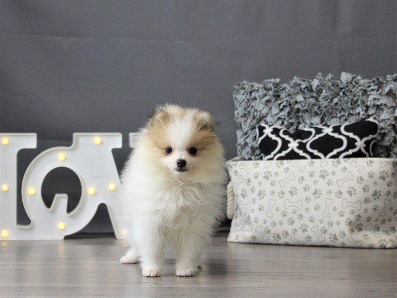 Pomeranian-DOG-Male-Sable / White-3131474-Petland Carriage Place