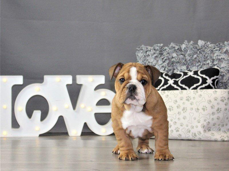 Bulldog-DOG-Female-Red-3131377-Petland Carriage Place