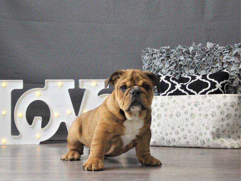 Bulldog-DOG-Male-Red-3131380-Petland Carriage Place