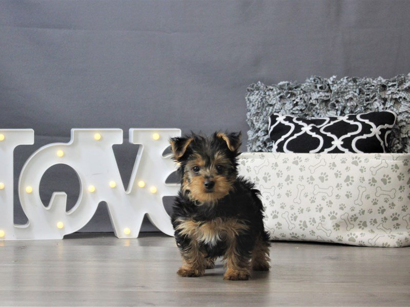 Yorkshire Terrier-DOG-Male-Black / Tan-3142034-Petland Carriage Place