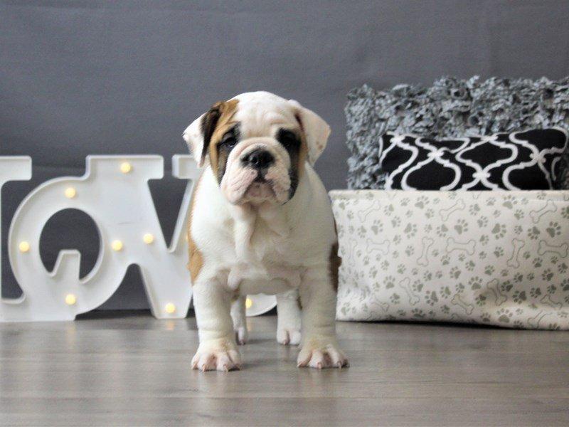 English Bulldog-DOG-Female-White-3141963-Petland Carriage Place