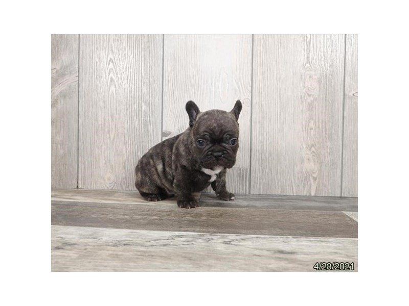 French Bulldog-DOG-Male-Brindle-3152394-Petland Carriage Place