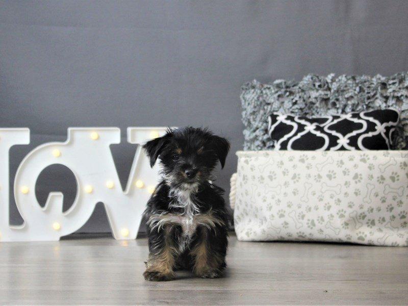 Yorkie/Chihuahua-DOG-Male-Black / Tan-3152393-Petland Carriage Place