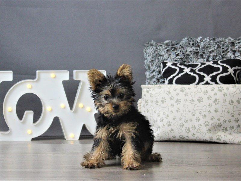 Yorkshire Terrier-DOG-Female-Black / Tan-3152398-Petland Carriage Place