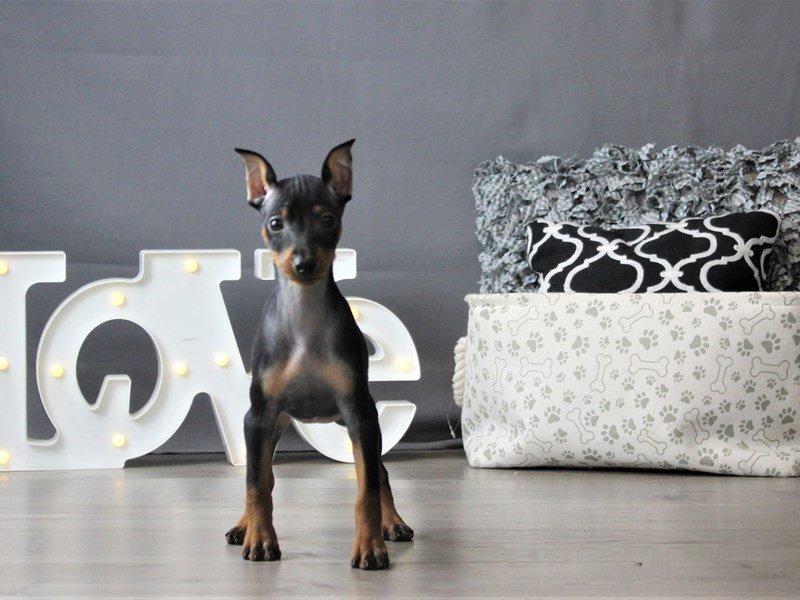 Miniature Pinscher-DOG-Female-Black / Rust-3152389-Petland Carriage Place
