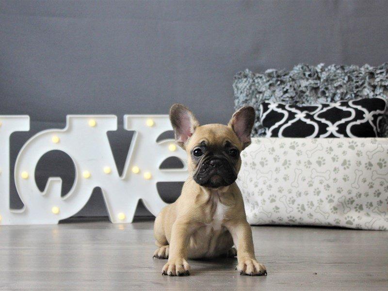 French Bulldog-DOG-Male-Fawn-3152395-Petland Carriage Place