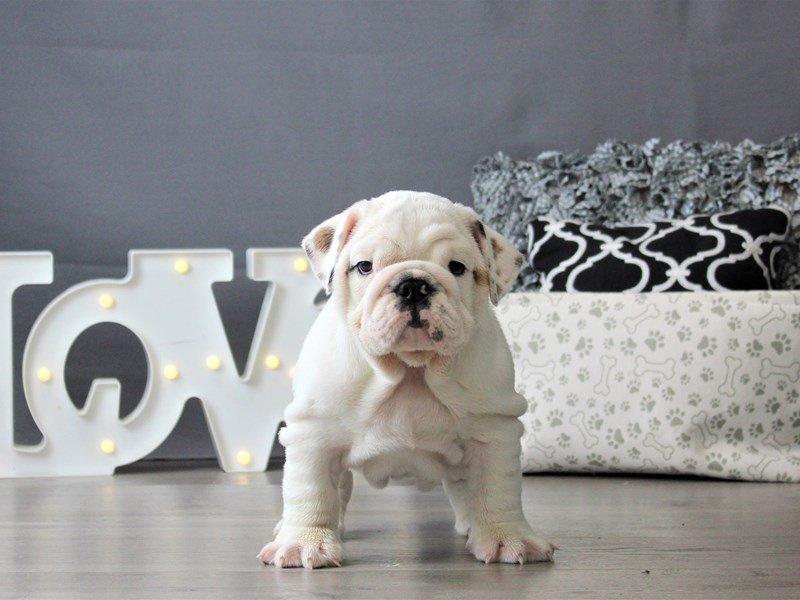English Bulldog-DOG-Male-White-3152386-Petland Carriage Place