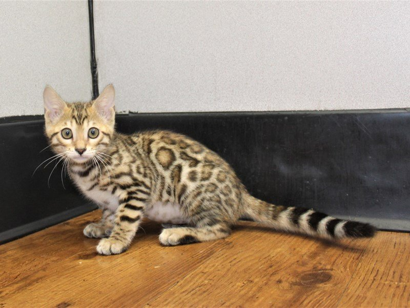 Bengal-Female-Brown Rosetted Tabby-3153095-Petland Carriage Place