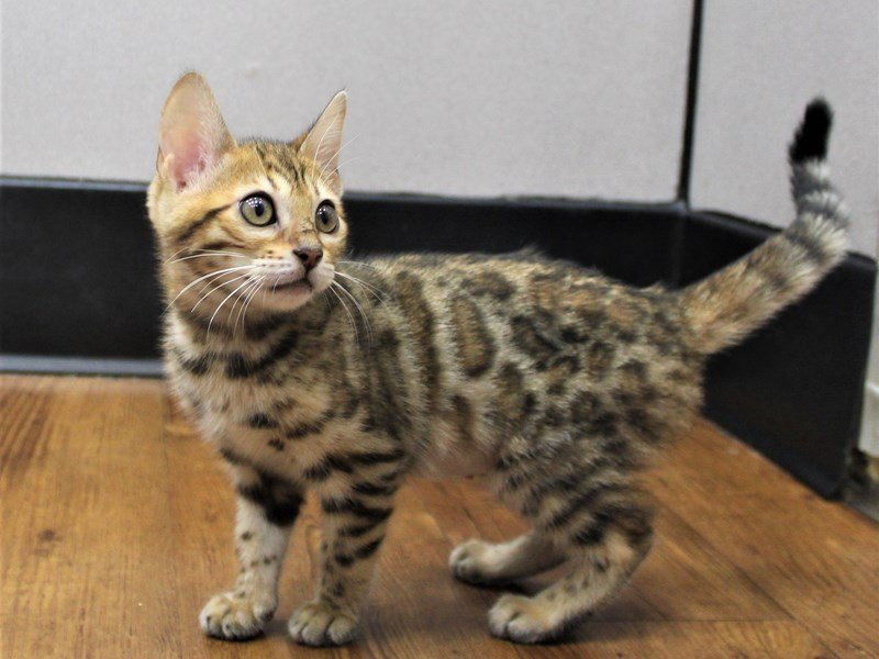 Bengal-Female-Brown Rosetted Tabby-3153153-Petland Carriage Place