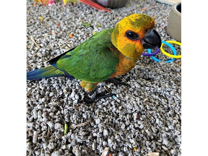 Sun Conure-BIRD--ORANGE/ YELLOW/ RED/ GREEN-3121937-Petland Carriage Place