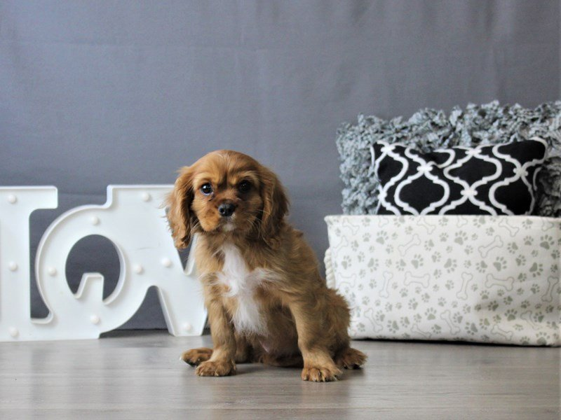 Cavalier King Charles Spaniel-DOG-Male-Ruby-3076955-Petland Carriage Place
