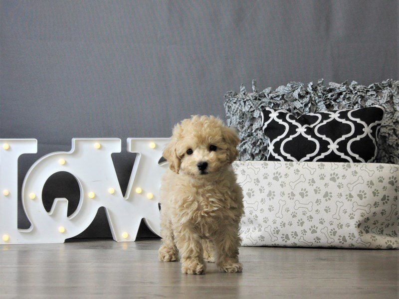 Poodle/Bichon-DOG-Male-Apricot-3087956-Petland Carriage Place