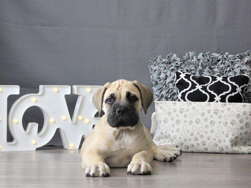 Bullmastiff-DOG-Male-Fawn-3099029-Petland Carriage Place