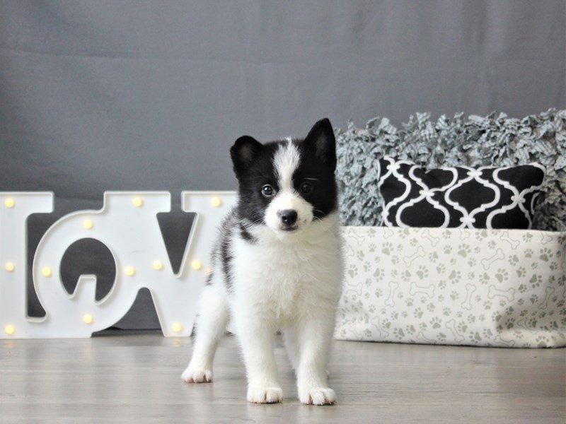 Pom/Shiba-DOG-Male-Black / White-3099116-Petland Carriage Place