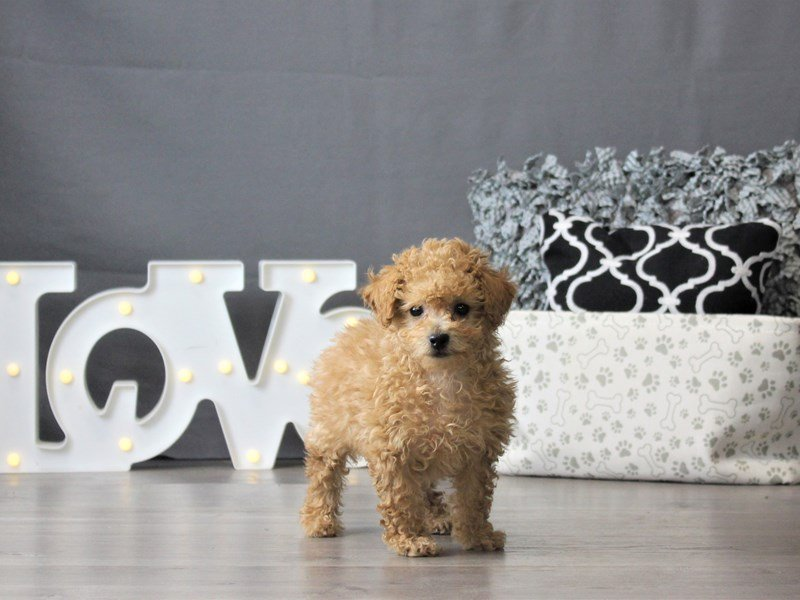 Bichon/Poodle-DOG-Female-Red-3099120-Petland Carriage Place