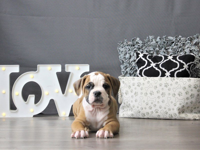 Olde Bulldog-Male-Red / White-3099044-Petland Carriage Place