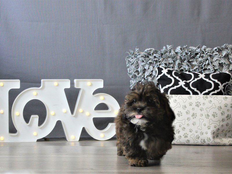 Lhasapoo-DOG-Male-Brown-3110084-Petland Carriage Place
