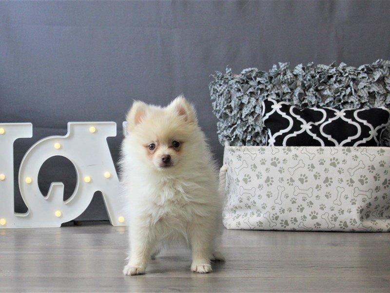 Pomeranian-DOG-Female-Cream-3110121-Petland Carriage Place