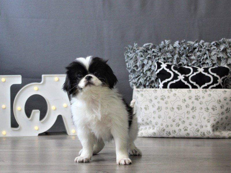 Japanese Chin-DOG-Male-Black  Tri-3110088-Petland Carriage Place