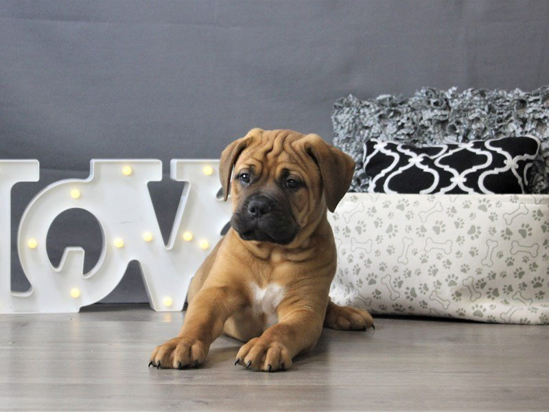 Bullmastiff-DOG-Male-Fawn/ Blk msk-3142032-Petland Carriage Place