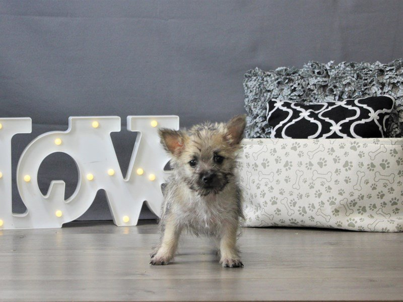 Cairn Terrier-Male-Wheaten-3141971-Petland Carriage Place