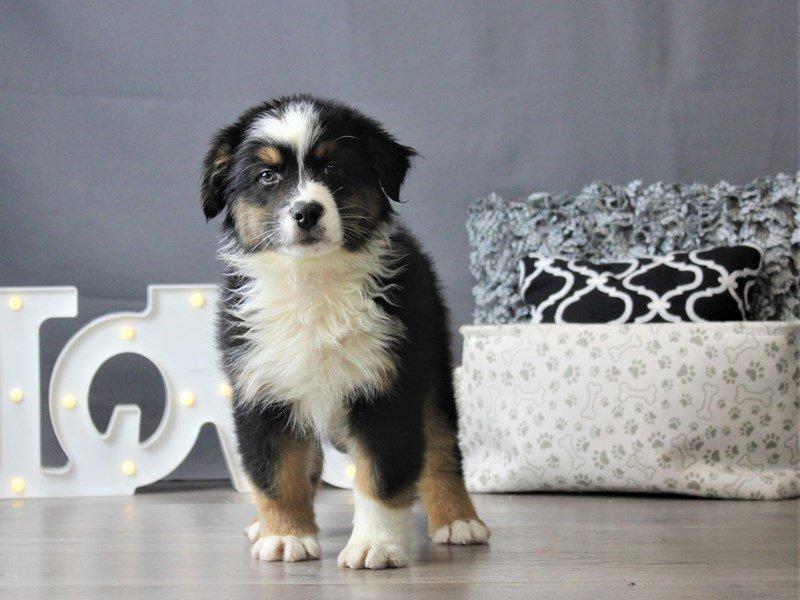 Australian Shepherd-DOG-Male-Black Tan / White-3152397-Petland Carriage Place