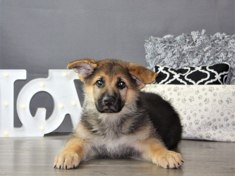 German Shepherd Dog-DOG-Male-Black / Tan-3162149-Petland Carriage Place