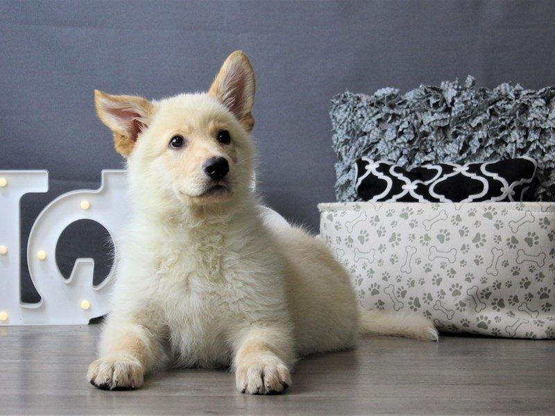 German Shepherd Dog-DOG-Male-Cream-3162150-Petland Carriage Place