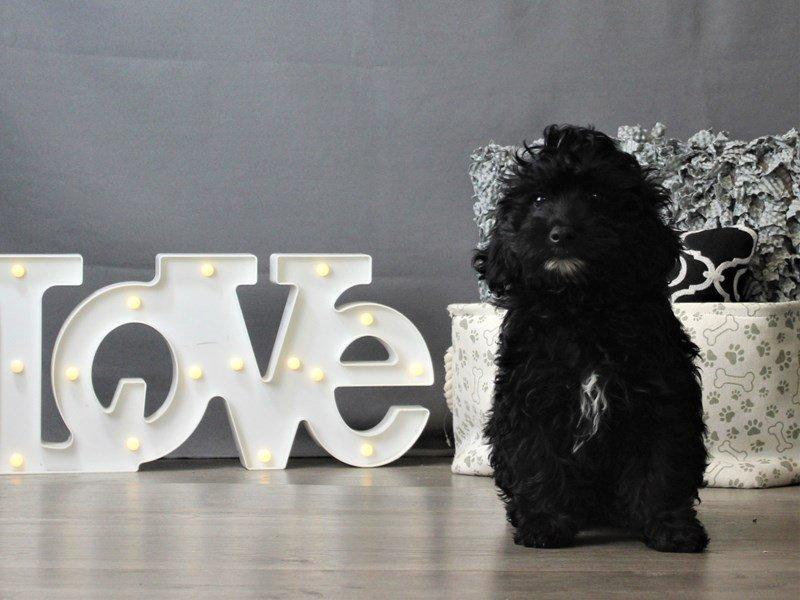 Poodle/Golden Retriever-DOG-Female-Black-3162267-Petland Carriage Place