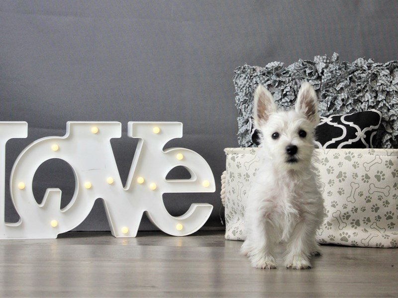 West Highland White Terrier-Male-White-3162138-Petland Carriage Place