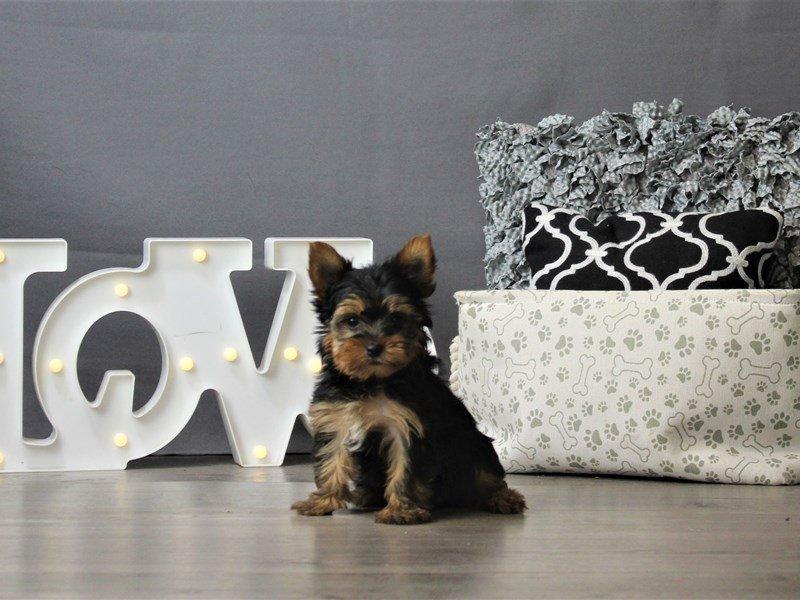 Yorkshire Terrier-DOG-Female-Black / Tan-3162273-Petland Carriage Place