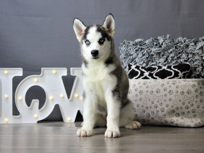Siberian Husky-DOG-Female-Black / White-3162139-Petland Carriage Place