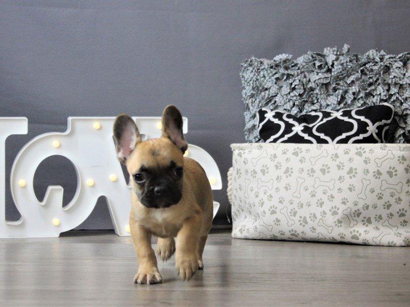French Bulldog-DOG-Male-Fawn-3162269-Petland Carriage Place