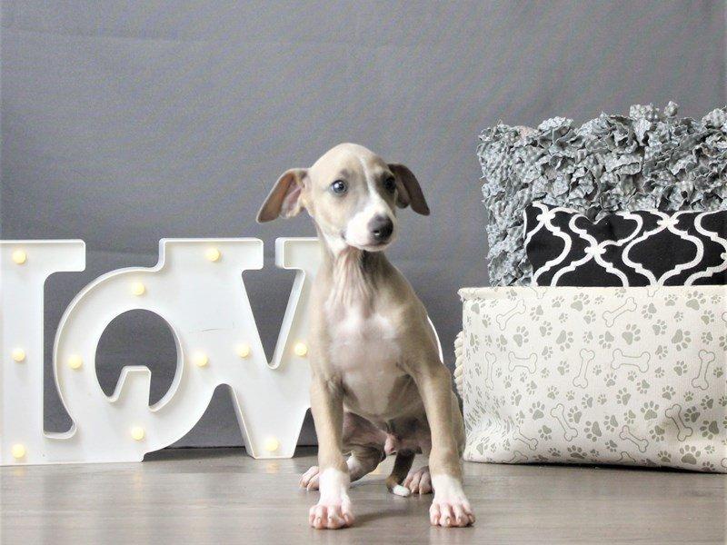 Italian Greyhound-DOG-Male-Blue Fawn-3162270-Petland Carriage Place