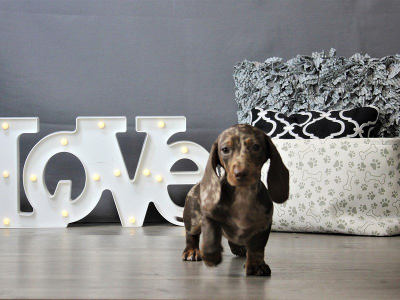 Dachshund-DOG-Female-Chocolate Dapple-3162134-Petland Carriage Place