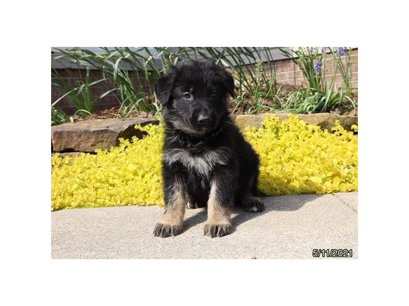 German Shepherd Dog-DOG-Male-Black / Tan-3172129-Petland Carriage Place