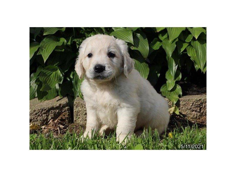 Golden Retriever-DOG-Male-Cream-3172134-Petland Carriage Place