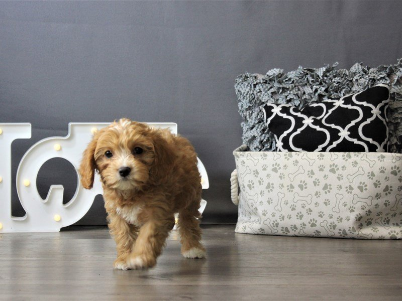 Cavalier King Charles Spaniel/Toy Poodle-DOG-Female-Ruby-3172173-Petland Carriage Place