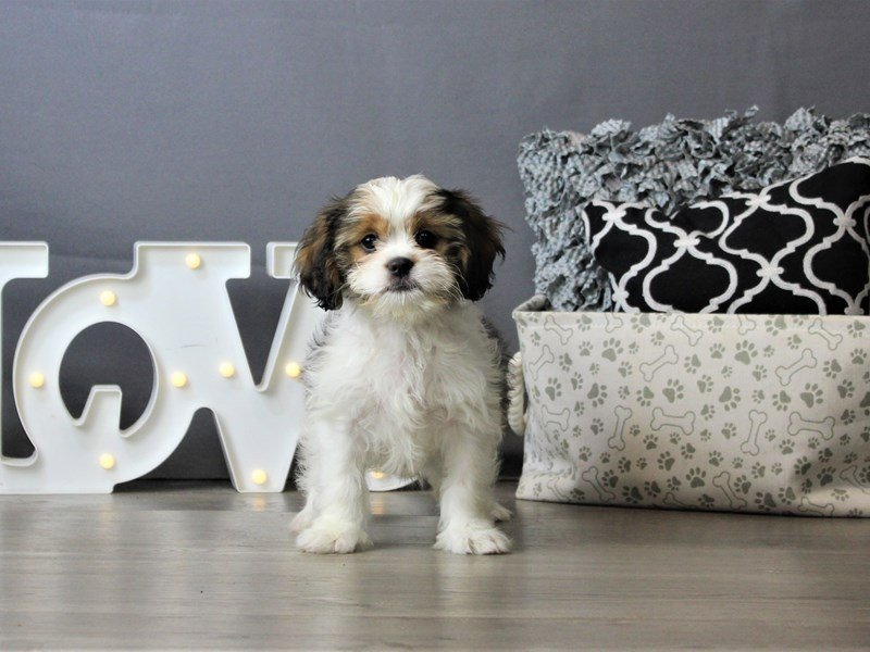Cavalier King-DOG-Female-Brown / White-3172139-Petland Carriage Place