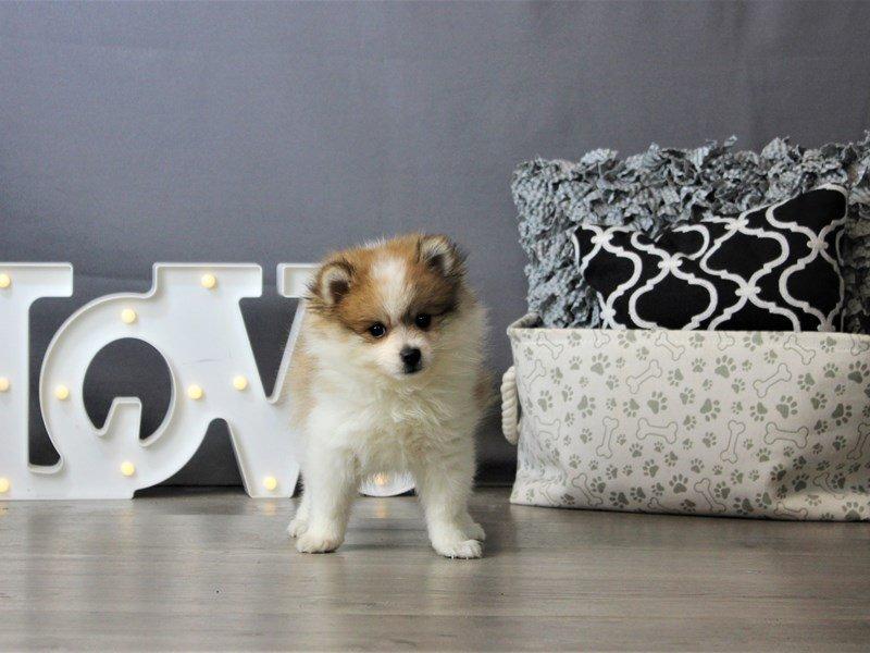 Pomeranian-DOG-Male-Cream-3172137-Petland Carriage Place