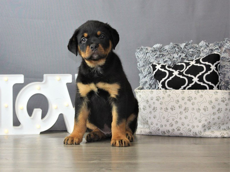 Rottweiler-DOG-Male-Black / Tan-3172136-Petland Carriage Place
