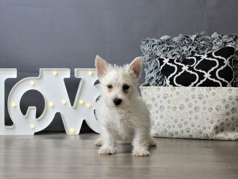 West Highland White Terrier-DOG-Male-White-3172174-Petland Carriage Place