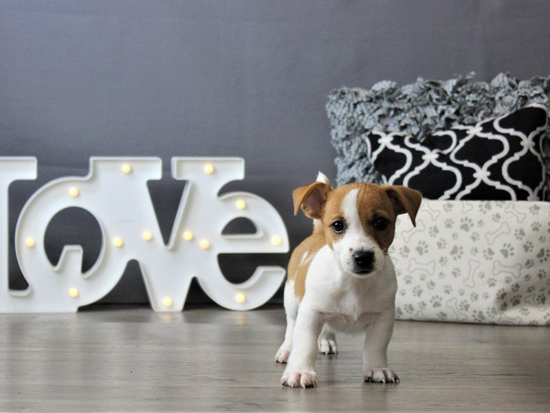 Jack Russell Terrier-Male-Brown / White-3172138-Petland Carriage Place