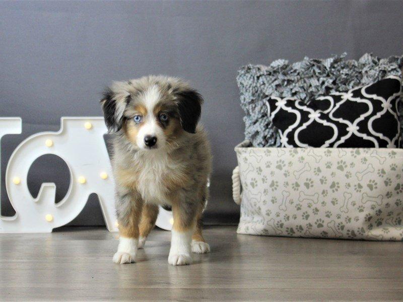 Miniature Australian Shepherd-DOG-Male-Blue Merle-3172131-Petland Carriage Place