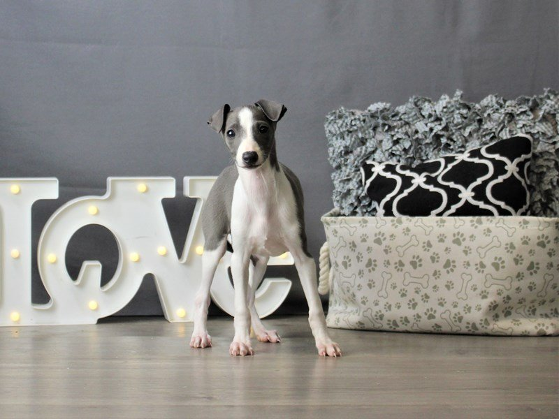Italian Greyhound-DOG-Male-Blue-3180824-Petland Carriage Place