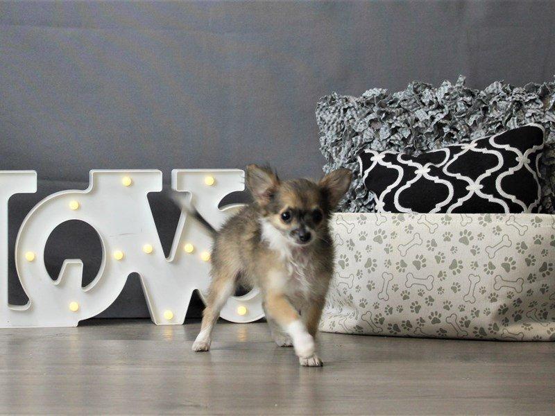 Chihuahua-DOG-Male-Blue Fawn-3180779-Petland Carriage Place