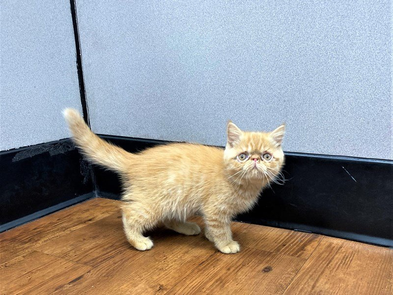 Exotic-CAT-Male-Red Tabby-3183476-Petland Carriage Place