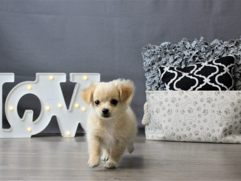 Chihuahua-DOG-Female-Cream-3189570-Petland Carriage Place