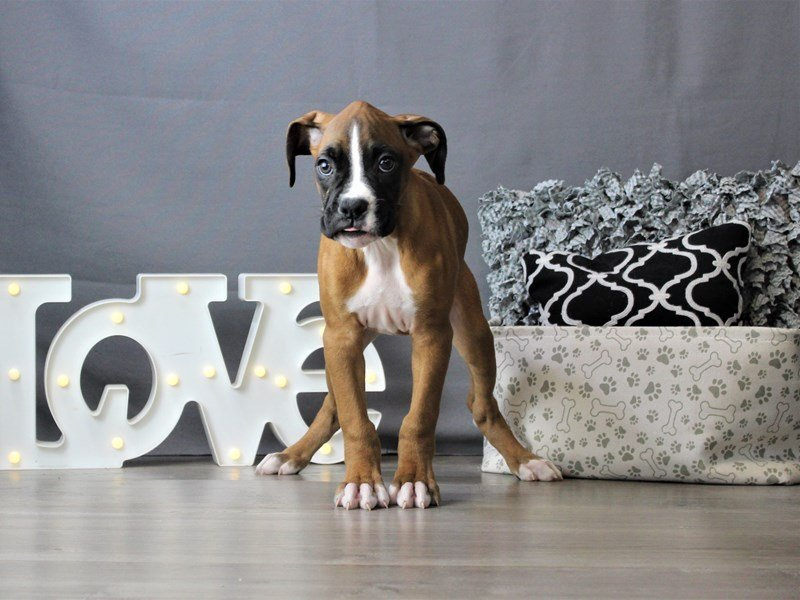 Boxer-DOG-Male-Fawn-3189583-Petland Carriage Place